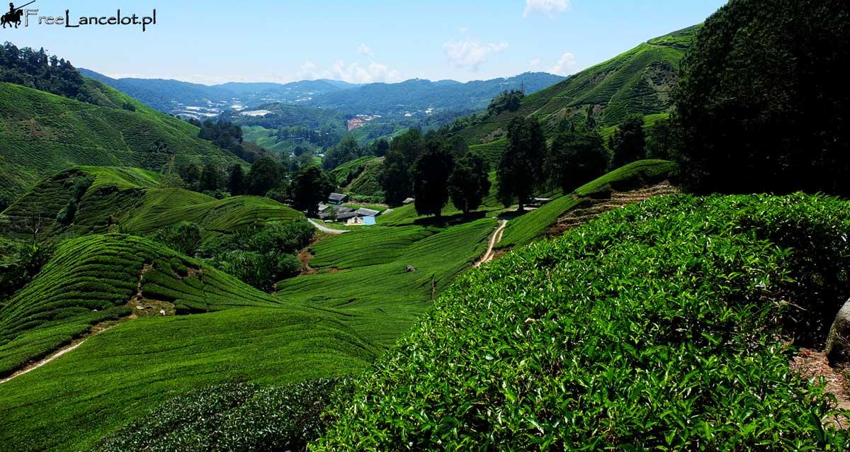 pola-herbaty-Malezja